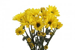 Daisy Yellow Celebrate