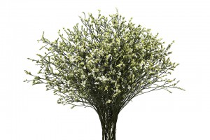 Limonium White Eversnow