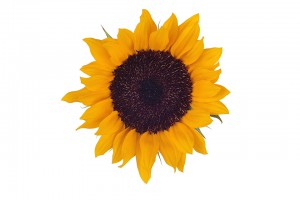 Sunflower Sunbright