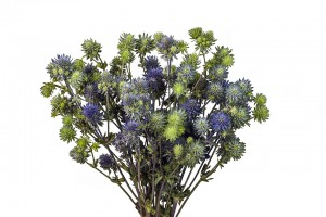 Eryngium Magical Series Purple
