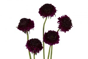 SCABIOSA BLACK BERRY SCOOP