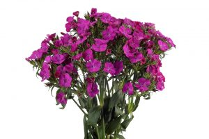 Dianthus Amazon Purple
