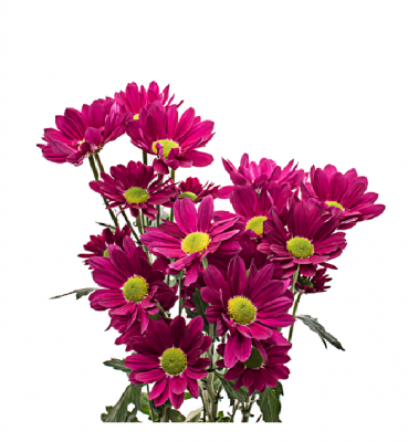DAISY bicolor pink CHICLE