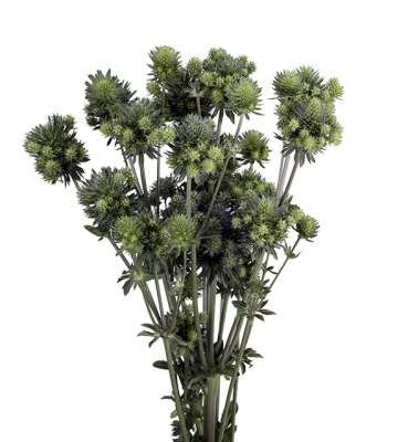 Eryngium Magical Series Green