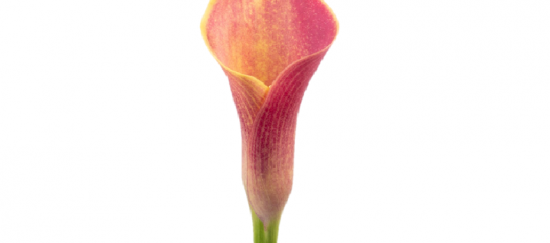 Mini Calla Lady Marmalade