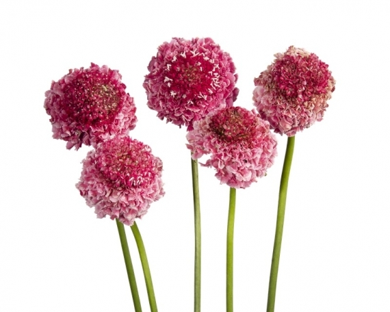 SCABIOSA COTTON CANDY SCOOP