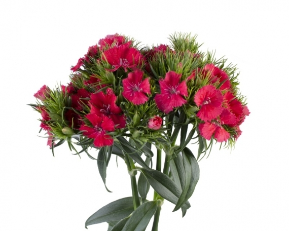 Dianthus Sweet Hot Pink Coral