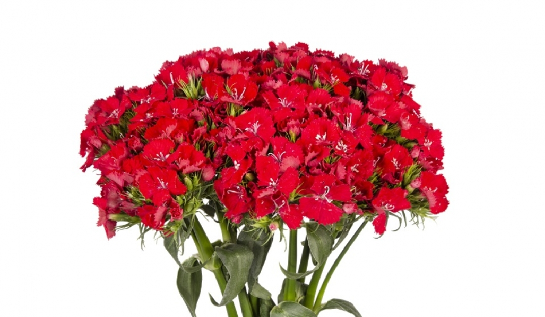 Dianthus Sweet Red Scarlet