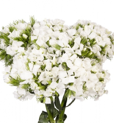 Dianthus Sweet White