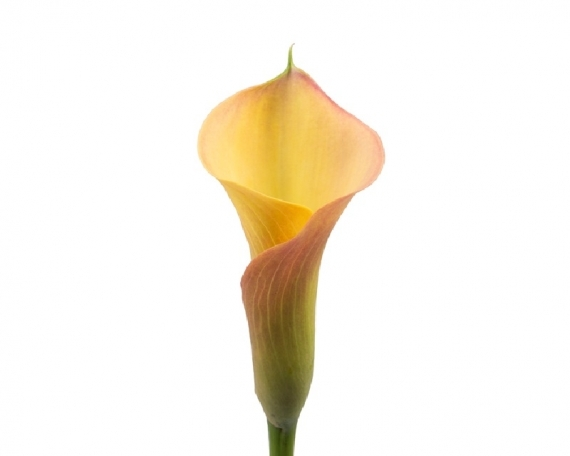 Mini Calla Apricot Lady